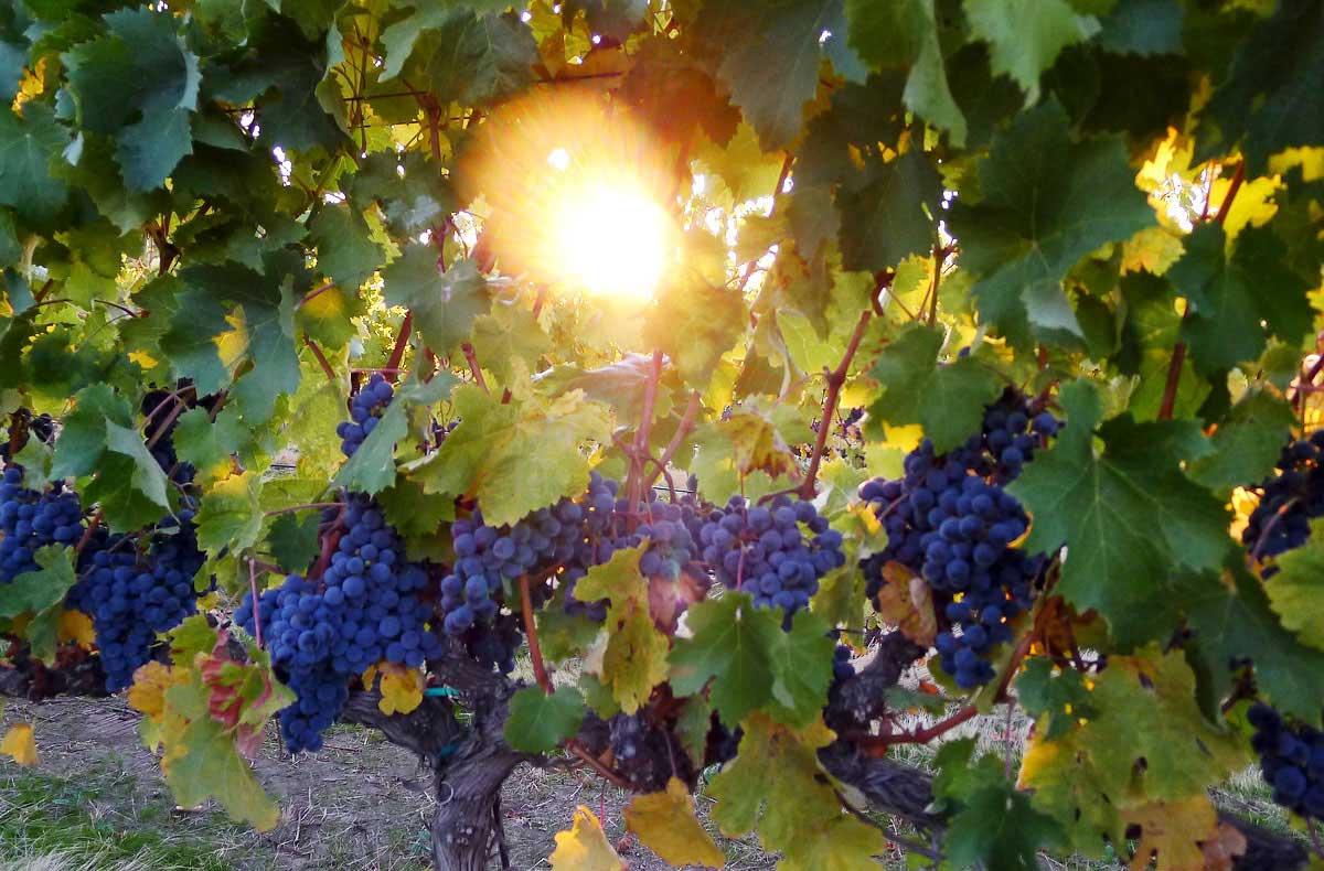 Marty Hale Perissos martyhale.org True Vine